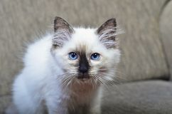 A rag doll kitten Royalty Free Stock Image