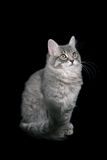 ragamuffin кота стоковое изображение rf