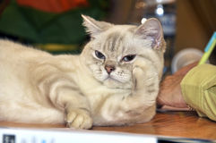 RagaMuffin породы кота Стоковая Фотография