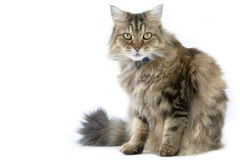 Ragamuffin. Fluffy ragamuffin cat in the studio Royalty Free Stock Image