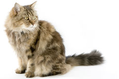 Ragamuffin Cat in the studio. A cute fluffy cat on a white background Stock Images
