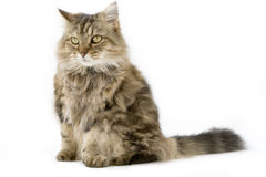 Ragamuffin Cat in the studio. A cute fluffy cat on a white background Royalty Free Stock Images