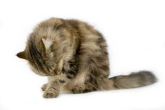 Ragamuffin Cat in the studio. Stock Photography