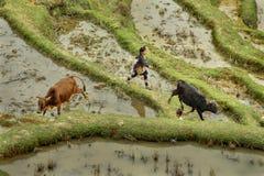 Ragazza asiatica 10 anni, radunanti le mucche in montagne Cina. Immagini Stock
