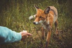 Ragazza che alimenta Fox fotografia stock