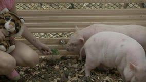 Ragazza che alimenta i piccoli verri sull'azienda agricola La vita di un maiale Azienda agricola, animali e natura rurali d'alime archivi video