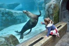 Ragazza che guarda un leone marino Fotografie Stock Libere da Diritti