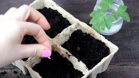Ragazza che pianta i semi in una scatola per le piantine Giardinaggio Strumenti di giardino e un vaso della pianta su una tavola  stock footage