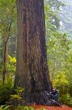 Ragazza che prova ad abbracciare un Redwood gigante Fotografia Stock