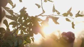 Ragazza che seleziona mela rossa dall'albero stock footage
