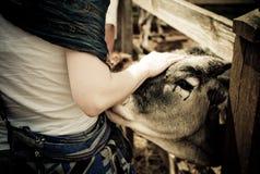 Ragazza del credente di Krishna che interagisce con una mucca del bestiame al villaggio religioso alla zona rurale dell'Ungheria fotografie stock