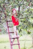 Ragazza dell'adolescente nella condizione rossa del vestito sulle scale di legno e nella raccolta dei frutti della ciliegia fotografia stock libera da diritti
