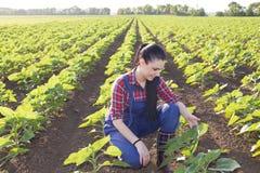 Ragazza dell'agricoltore che esamina le foglie del girasole Fotografia Stock Libera da Diritti