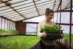 Ragazza dell'agricoltore che tiene una scatola delle piantine verdi in serra Fotografie Stock Libere da Diritti