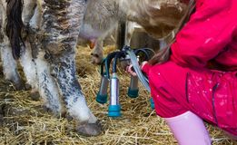 Ragazza dell'agricoltore con la mungitrice nella stalla della mucca Immagine Stock