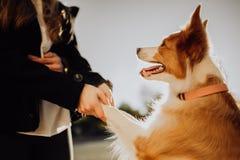Ragazza di sorriso con il soggiorno fresco del cucciolo del cane di due border collie sul campo verde tramonto del cielo su fondo immagini stock