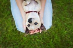 Ragazza o donna di fascino che tiene il cucciolo di cane divertente sveglio della chihuahua su prato inglese verde sul tramonto Fotografia Stock