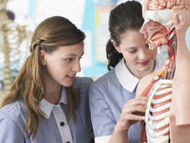 Ragazze che esaminano modello anatomico immagini stock libere da diritti