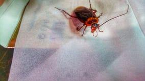 Ragazze coercitive della blatta Immagini Stock