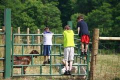 Ragazzi che esaminano le capre Fotografie Stock