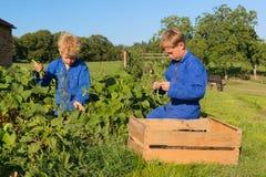 Ragazzi dell'azienda agricola che raccolgono nell'orto Immagini Stock Libere da Diritti