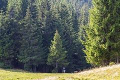 Ragazzino che sta nella foresta alta Magesty del pino della natura Fotografie Stock Libere da Diritti