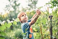 Ragazzino sveglio che riunisce pomodoro nero maturo nell'orto Infanzia felice di resto di estate immagini stock libere da diritti