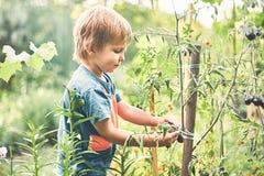 Ragazzino sveglio che riunisce pomodoro nero maturo nell'orto Infanzia felice di resto di estate fotografia stock libera da diritti
