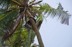 Ragazzo africano in cima ad una palma Immagine Stock Libera da Diritti
