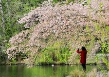 Signora che prende le foto sotto Cherry Tree Fotografie Stock