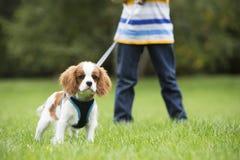 Ragazzo che prende cucciolo per la passeggiata su cavo Immagini Stock