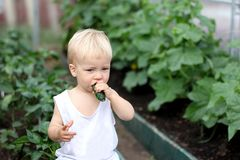 Ragazzo sveglio del bambino che mangia cetriolo in una serra Pezzo di terra coltivato al cetriolo su un fondo Agricoltura di Eco  Immagine Stock