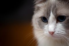 Ragdoll顶头被射击的画象的猫关闭 免版税图库摄影