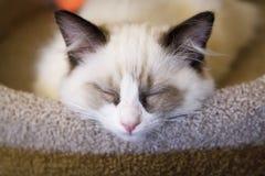 Ragdoll小猫休眠 库存照片