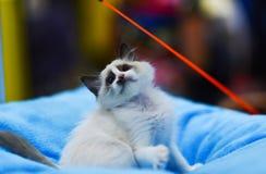 Ragdoll小猫在查寻被弄脏的背景使用 defocused 免版税库存图片