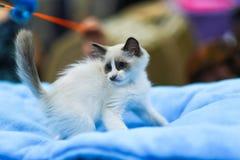 Ragdoll小猫在查寻被弄脏的背景使用 defocused 免版税库存照片