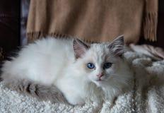 Ragdoll小猫 库存照片