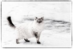 Ragdoll猫叫Frodo 库存照片