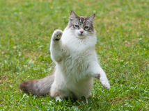 Ragdoll猫在庭院里 免版税库存照片