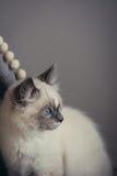 Ragdoll猫开会-特写镜头 免版税图库摄影
