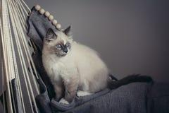 Ragdoll猫开会 免版税库存图片