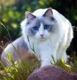 Ragdoll猫探索的自然,播种的图象 免版税图库摄影