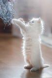 Ragdoll蓝蚝小猫 库存图片