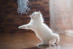 Ragdoll蓝蚝小猫 库存照片