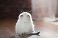 Ragdoll蓝蚝小猫 免版税库存图片