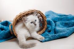 Ragdoll蓝蚝小的小猫 库存照片