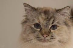 Ragdoll面孔的小猫关闭 免版税库存图片