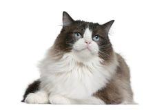 ragdoll кота стоковые изображения