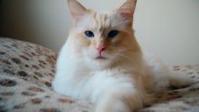 ragdoll 基于床的懒惰猫 股票视频
