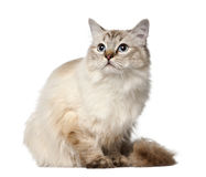 Ragdoll, 10 months old, sitting Stock Photography